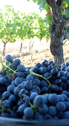 Grappes vignes Languedoc